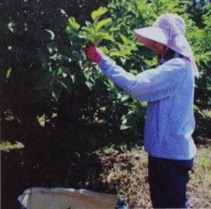 「柿の葉ブレンドティー」ティーバッグ