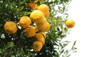 compoa. 06植物性セラミド